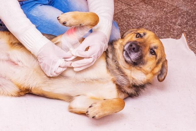 Clínica veterinária. o médico faz um curativo para um cachorro ferido