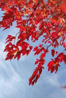Clone decorativo com folhas vermelhas no outono