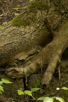 Clooseup de raízes de árvores cobertas de musgo verde