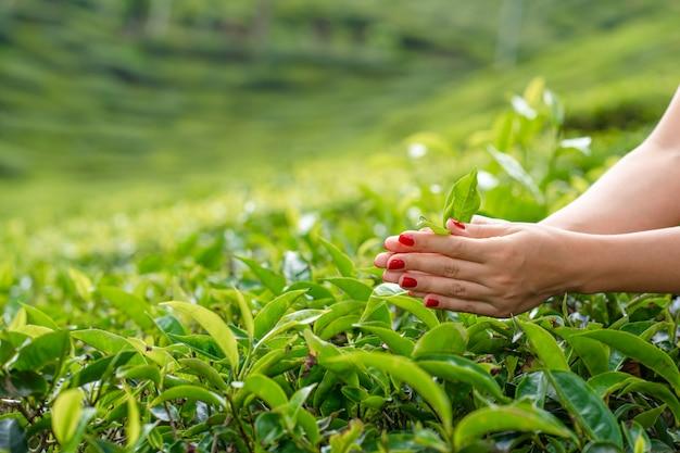 Close, a garota coleta delicadamente as folhas superiores do chá de arbustos verdes no alto das montanhas. produção de chá do vale do chá.