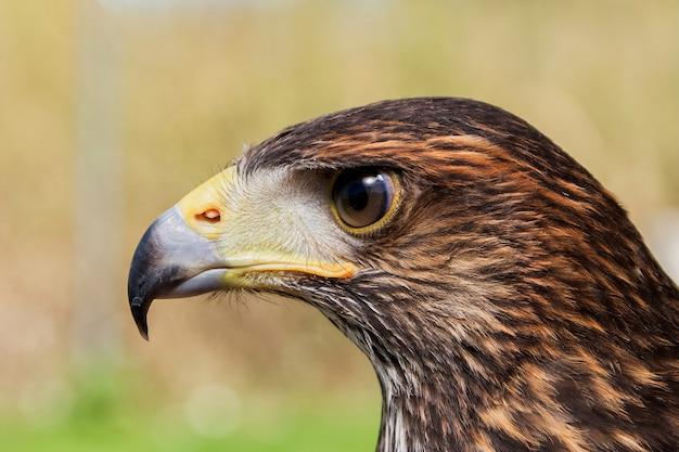 Close da águia feroz com padrões marrons e pretos