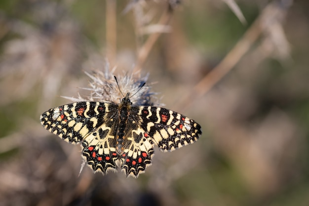 Close da borboleta zerynthia rumina em uma planta com espinhos