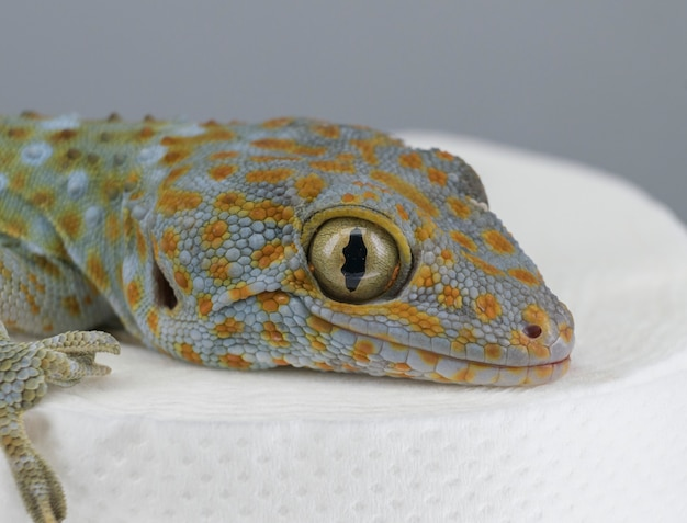 Close da cabeça da lagartixa tokay sentada no papel higiênico