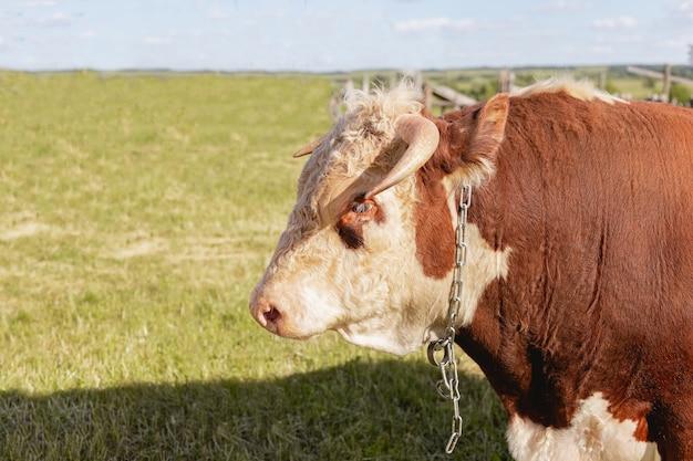 Close da cabeça de touro no fundo de um prado verde de verão e uma floresta, o conceito de produtos lácteos.