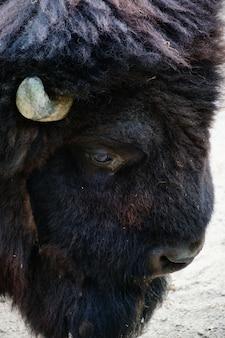 Close da cabeça de um bisonte norte-americano olhando para o chão