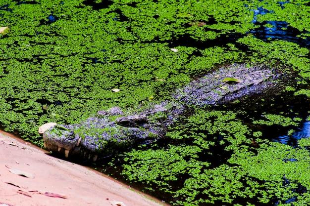 Close da cabeça de um crocodilo flutuando na água cheia de plantas aquáticas.
