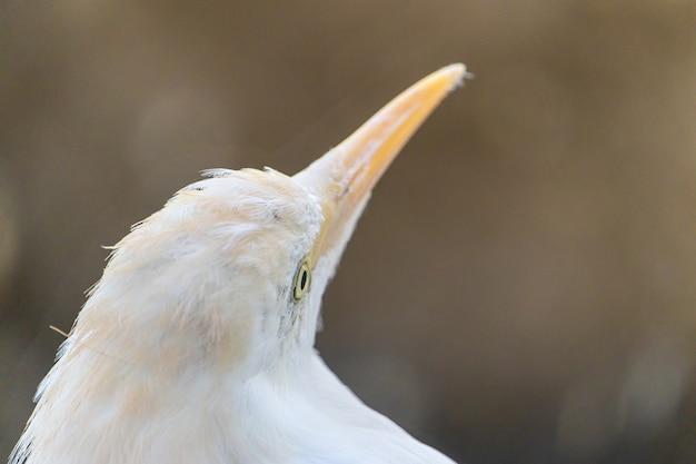 Close da cabeça de uma garça-branca tropical com um longo bico amarelo