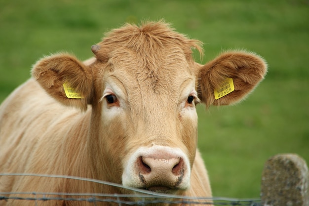 Close da cabeça de uma vaca marrom com etiquetas de identificação nas orelhas