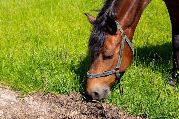 Close da cabeça do cavalo comendo grama