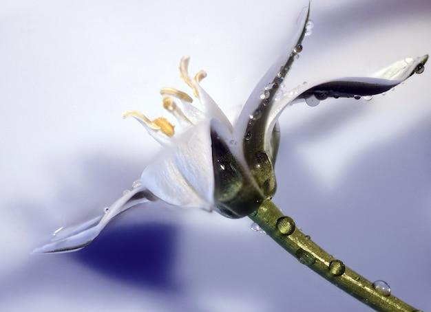 Close da flor da estrela de belém