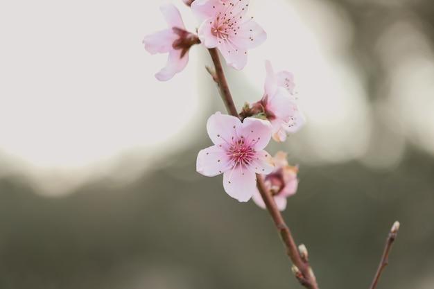 Close da flor de cerejeira sob a luz do sol em um jardim embaçado
