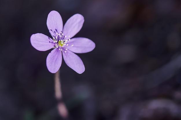 Close da flor hepatica nobilis na madeira
