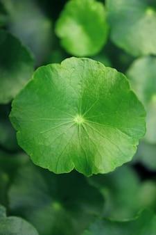 Close da folha de pennywort de água verde vibrante