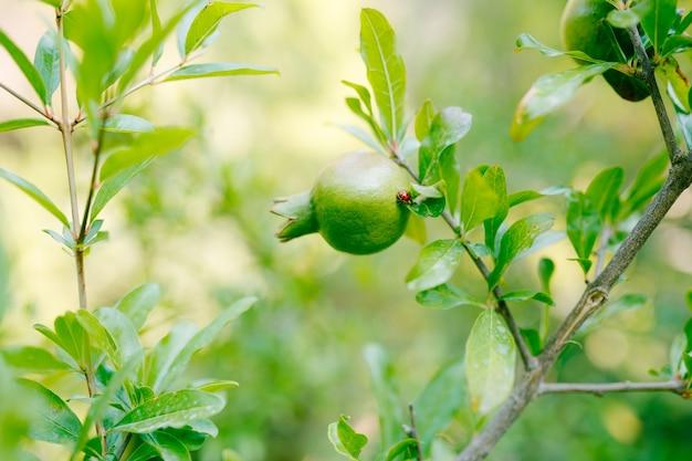 Close da fruta da romã em um galho de árvore, joaninha rastejando em uma folha de árvore