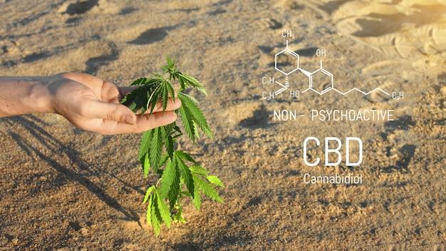 Close da mão de um cientista verificando plantas de cannabis em uma estufa, usadas para medicamentos alternativos à base de ervas e produção de óleo cbd.