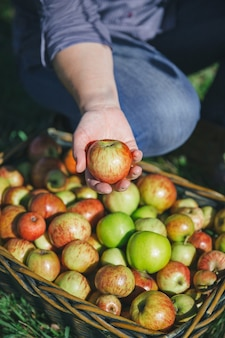 Close da mão de uma mulher mostrando uma maçã orgânica fresca da cesta de vime com frutas coloridas. alimentos saudáveis e conceito de tempo de colheita.
