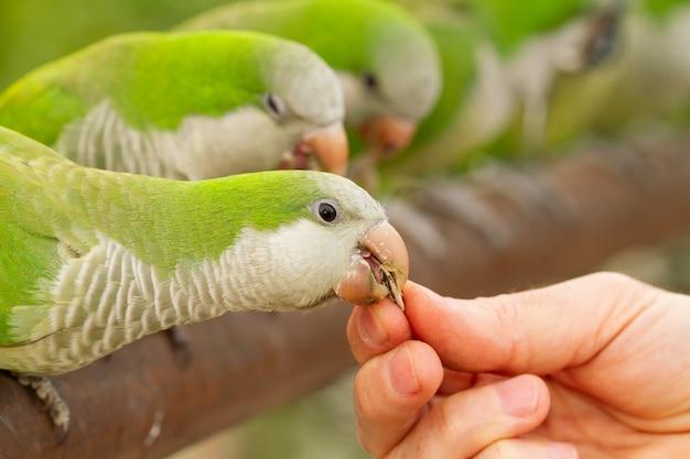 Close da mão de uma pessoa alimentando um periquito monge em um zoológico