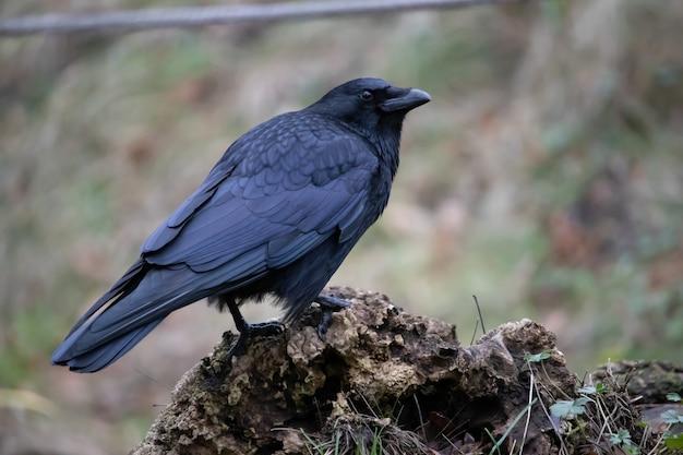 Close da paisagem de um corvo negro em pé na rocha com um borrão