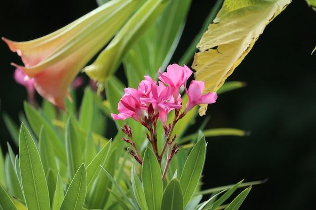 Close da paisagem de uma flor de loendro rosa