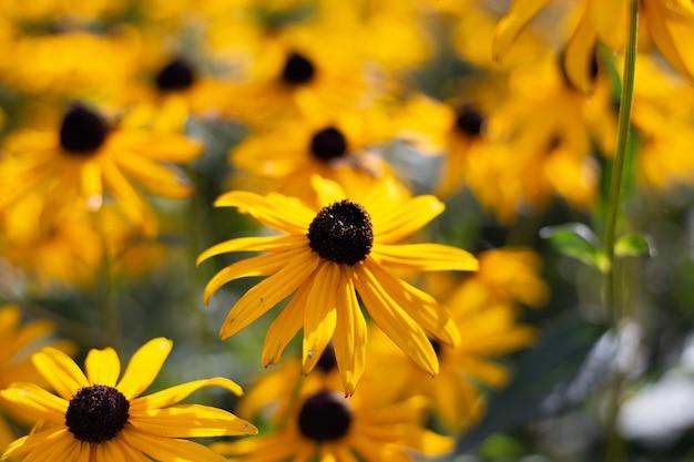 Close da paisagem de uma flor de susan de olhos pretos