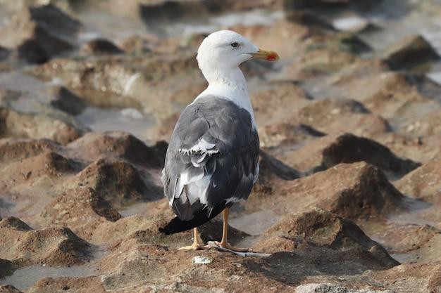 Close da parte de trás de uma grande gaivota de dorso negro (larus marinus) em pé no solo arenoso úmido