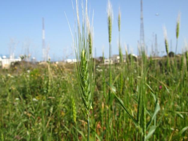 Close da safra de grãos de trigo crescendo no campo