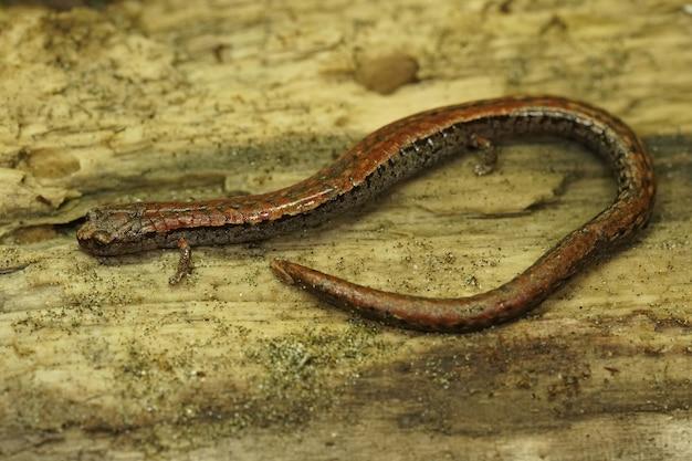Close da salamandra esguia da califórnia em uma superfície de madeira