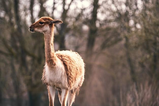 Close da vista frontal de um guanaco caminhando com árvores ao fundo