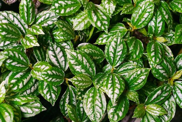Close das belas folhas de uma planta de alumínio pilea cadierei bela textura natural backg ...