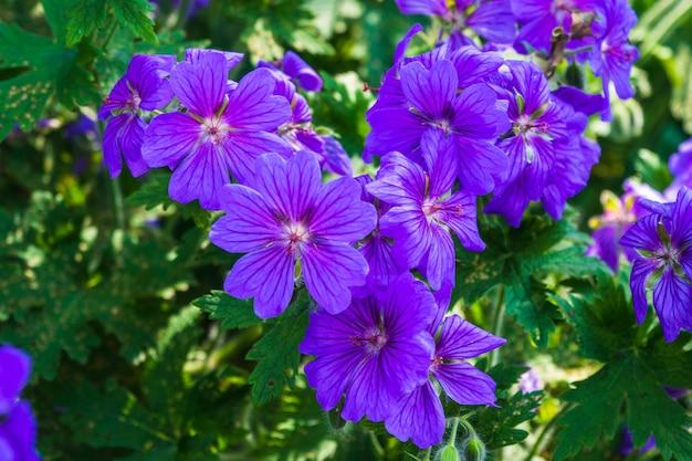 Close das lindas flores de gerânio desabrochando no jardim