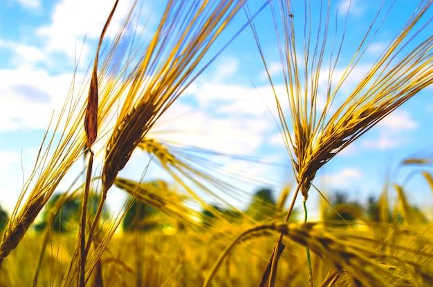 Close das orelhas no verão antes da colheita.
