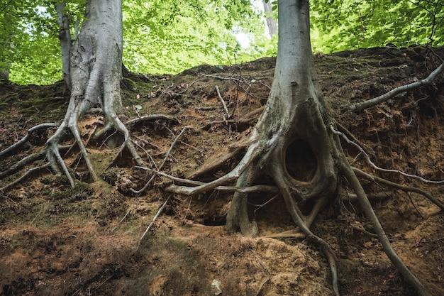 Close das raízes de árvores no solo em uma floresta sob a luz do sol