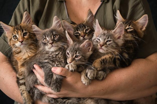 Close de 6 gatinhos maine coon de dois meses em cuidadosas mãos femininas