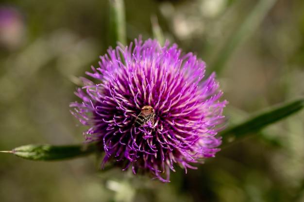 Close de abelha coleta mel de cardo