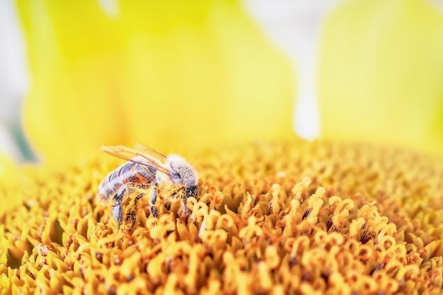 Close de abelha coletando néctar e pólen em flor de girassol, macro