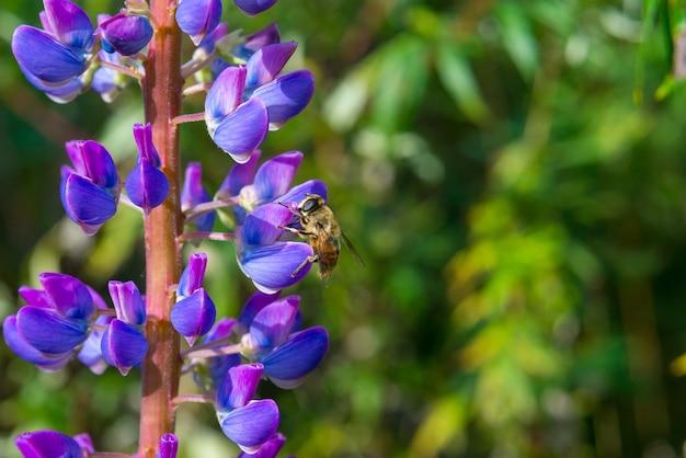 Close de abelha colhendo néctar de flores de tremoço