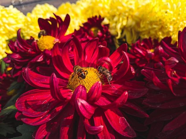 Close de abelhas em flores de crisântemo vermelho sob a luz do sol
