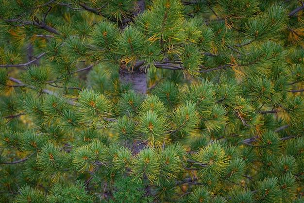 Close de abeto ou pinheiro