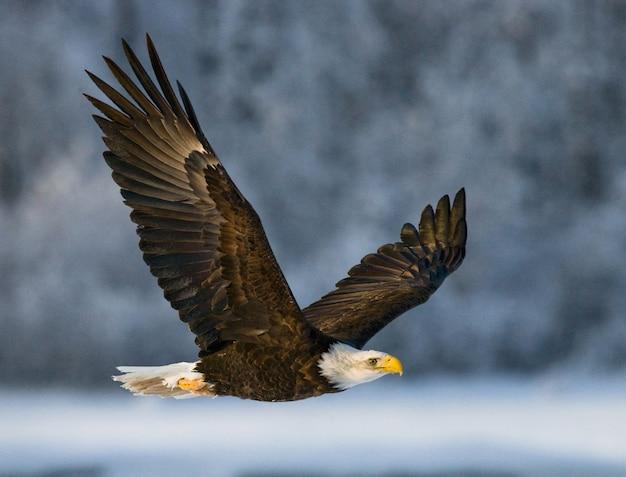 Close de águia careca em um dia de inverno