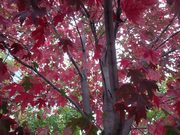 Close de ângulo baixo das folhas vermelhas em uma árvore de bordo
