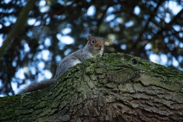 Close de ângulo baixo de um esquilo fofo no tronco de uma árvore coberta de musgo