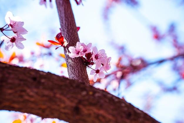Close de baixo ângulo de uma bela flor de cerejeira sob a luz do sol com um fundo desfocado