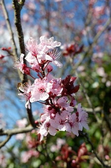 Close de belas flores de cerejeira com pétalas de rosa em um fundo desfocado