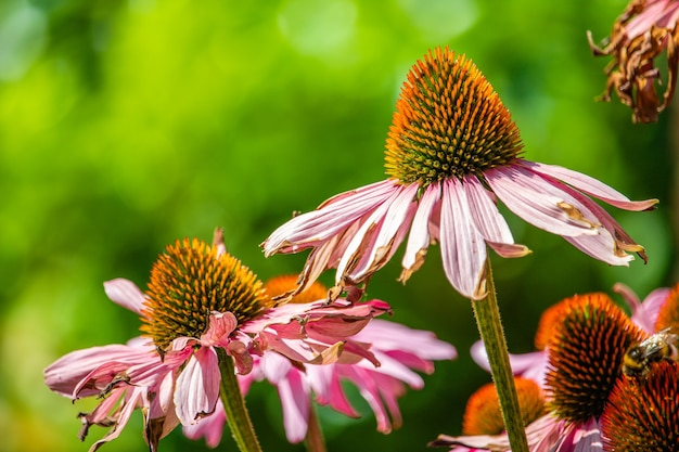 Close de belas flores de equinácea rosa