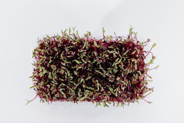 Close de brotos de beterraba micro-verde