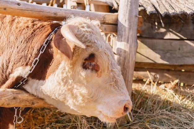 Close de cabeça de touro, touro com argola no nariz comendo feno, conceito de gado e comida orgânica