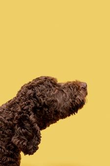 Close de cachorro poodle doméstico de vista lateral