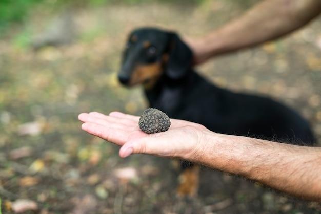 Close de cogumelo trufa na mão e cachorro treinado no fundo que leva todo o crédito