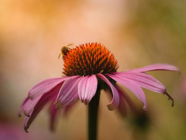 Close de coneflower roxo e uma abelha