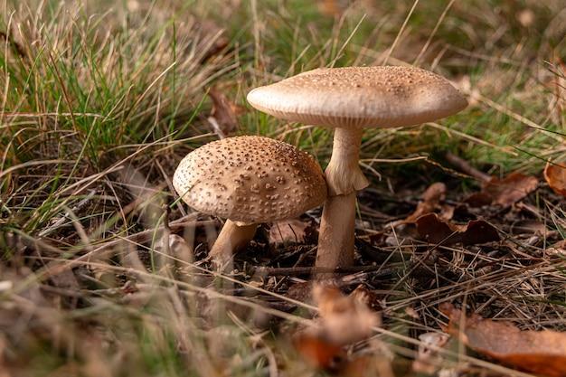 Close de dois cogumelos marrons um ao lado do outro, cercados por grama seca